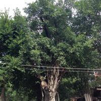 福建榕树小气根5