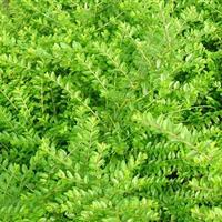 匍枝亮绿忍冬