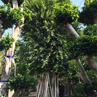 福建古榕树造型2介绍