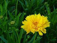 金鸡菊、剑叶金鸡菊、重瓣金鸡菊、大花金鸡菊
