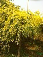 金叶榆大量