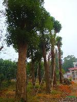 供应香樟树、油茶树、椤木石楠、栾树、红果冬青、无患子