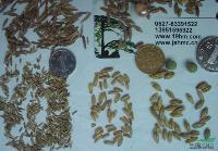 多年生牧草菊苣籽粒苋鲁梅克斯紫花苜蓿草木樨三叶草质优价廉包邮