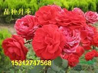 各种月季花蔷薇玫瑰花黄刺玫红叶小檗牡丹芍药百合郁金香水仙花