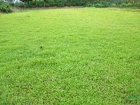 江苏地区长期各种草坪马尼拉草坪