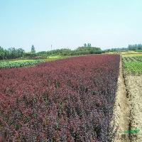 櫻花、楸樹、紫荊、紅葉小波、小葉女貞