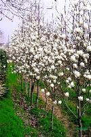 木槿、广玉兰、白玉兰、蔷薇、迎春、连翘