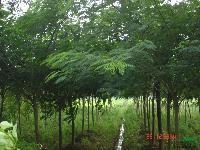 合歡.欒樹.榆葉梅.碧桃.女貞.紅葉石楠等3000品種