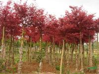枫杨、龙爪槐、紫叶桃、红枫、侧柏、金丝桃