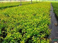 本苗场大量供应大花六道木色块苗