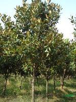 刺柏.木槿.銀杏樹.柳樹.玉蘭等千余品種大量供應