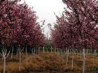 垂丝海棠、西府海棠、美人梅、黄帽月季、丰花月季