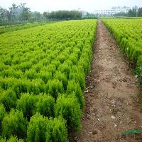 蔓地亚红豆杉.南方红豆杉.枫树大量供应