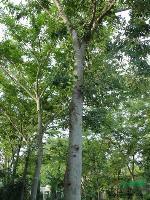 紅瑞木、花石榴、迎春、櫸樹、樸樹