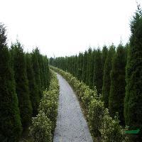 雪松、蜀檜、水杉、紫葉李、金絲梅