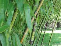 刚竹、金镶玉竹、箬竹、青皮竹、翠竹
