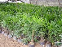 紅楓、棕竹、大葉黃楊、小葉黃楊