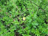 红瑞木、花石榴、迎春、棣棠