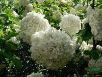 地被月季、品種月季、木槿、結香、木繡球