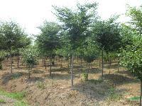 杨树.榉树.白腊.玉兰.紫薇等大量品种供应