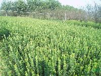 垂丝海棠、西府海棠、美人梅、紫叶矮樱、卫矛