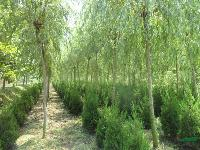 垂槐.垂柳.垂梅.垂丝海棠.刺槐等大量工程苗木