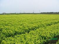 北海道黄杨、红叶千头椿、杜仲、纹母、厚朴、木瓜等;木绣球