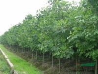 产地供应乔木工程苗马褂木、七叶树、黄连木、枫杨、龙爪槐