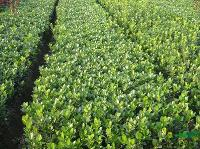 苗圃直销丰花月季、 蔷薇、迎春、连翘、侧柏、 扶芳藤