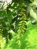 供應工程優質苗水杉、紫葉李、木槿、棕櫚、七葉樹、黃連木、楓楊