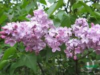 丁香、木槿、结香、木绣球、木香、夹竹桃