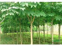 棕榈、 杂交马褂木、七叶树、合欢、水杉、紫叶李