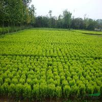 龍爪槐、紫葉桃、紅楓、豐花月季、灑金柏