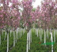 售道路用苗紫玉兰、高杆女贞、樱花、紫荆、紫薇、广玉兰