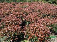 地柏,铺地柏、 蜀桧、地柏、沙地柏、扶芳藤、红花继木、石楠球