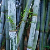 供应粉单竹、早园竹、慈孝竹、佛肚竹、毛竹、雷竹、四季竹