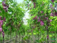 绿化苗紫叶李、木槿、香花槐、棕榈、马褂木