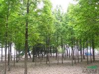 工程优质苗水杉、紫叶李、七叶树、龟甲冬青球