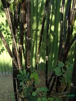 雷竹、四季竹、紫竹、七叶树、黄连木