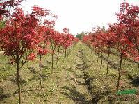 紫叶桃、红枫、榉树、朴树