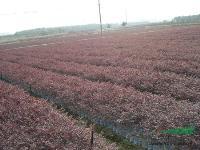 黄帽月季、丰花月季、洒金柏、红花继木、金叶莸