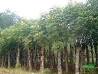 供应黄山栾树、移栽栾树、法国冬青、冬青小苗