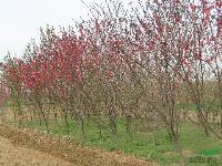 菊花、國慶菊、彩葉草、丁香、紅櫨