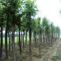 基地供应彩叶长春藤、藤本蔷薇、榉树、朴树