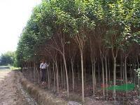 大量供应朴树、国槐、高杆女贞