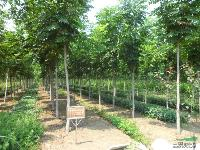 销售基地苗木:栾树、白腊、合欢、水杉、紫叶李