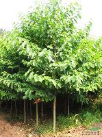地柏、沙地柏、扶芳藤、红花继木、梓树