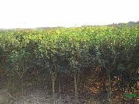 银桂、榆叶桃、蔷薇、丰花月季