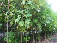 大量供應:棕櫚、 雜交馬褂木、七葉樹、黃連木等苗木