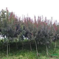 樸樹、雜交馬褂木、紅楓、紅櫨